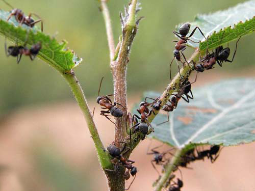 как избавиться от садовых муравьев