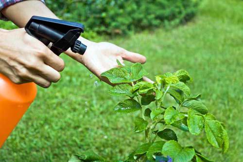 опрыскивание растений отваром