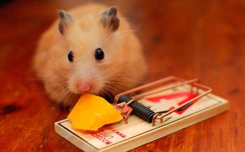 Чем привлечь мышей в мышеловку
