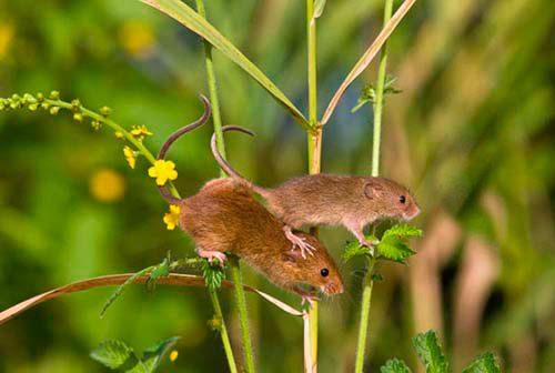 растения отпугивающие мышей
