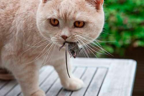 кошка от мышей