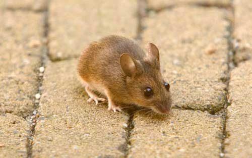 народные средства от мышей в доме