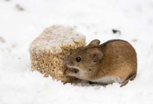 приманка от мышей