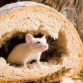Какие народные средства помогут избавиться от мышей в частном доме