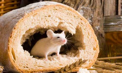 Как бороться с мышами народными средствами