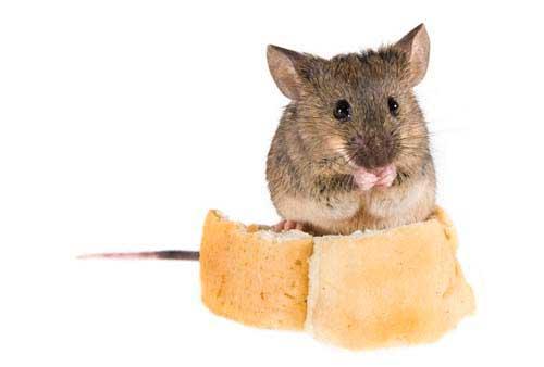 Как избавиться от мышей в квартире раз и навсегда
