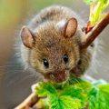 Какого запаха боятся мыши в доме и в огороде