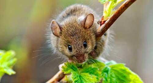 Какие запахи не любят мыши, как правильно использовать растительные отпугиватели  2020