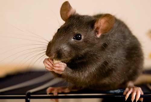 какого запаха боятся мыши