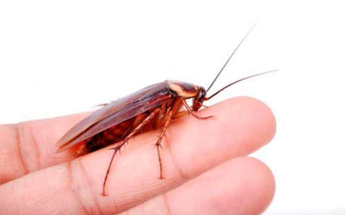 Кусаются ли тараканы ? Насколько опасны их укусы для здоровья человека