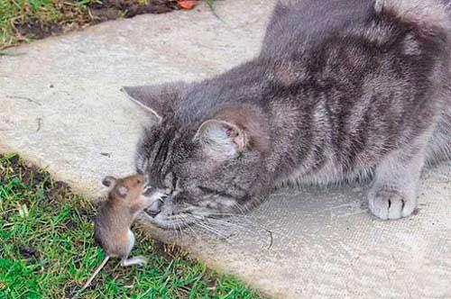 мыши боятся кота