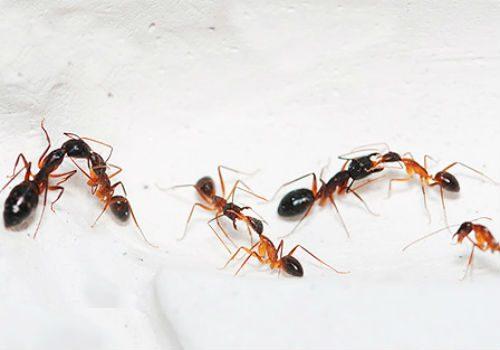 мука от муравьев в квартире