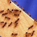 Как уничтожить муравьев в городской квартире