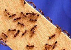 откуда муравьи на кухне