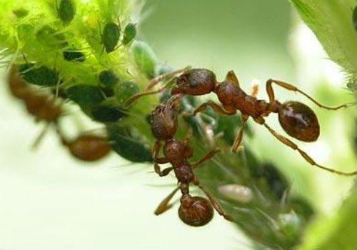 тля и муравьи на деревьях
