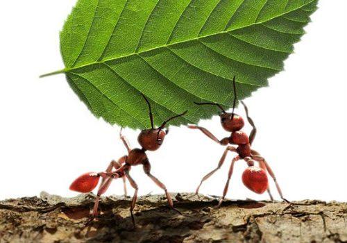рыжие муравьи