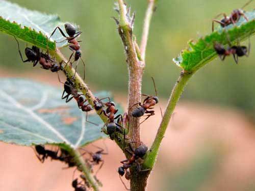 вред от муравьев в огороде