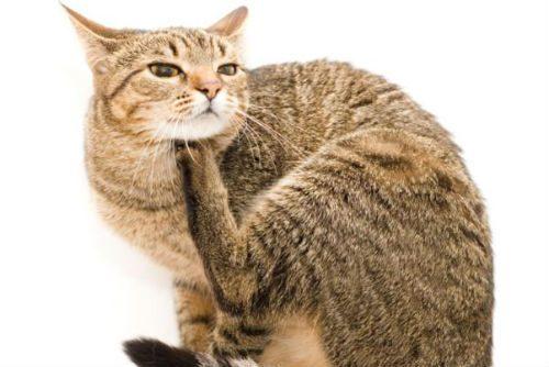 кошачьи блохи опасны