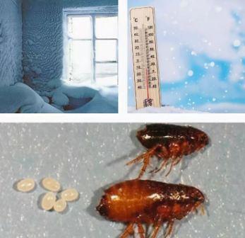 Блохи погибают при температуре