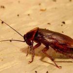 Народные средства от тараканов