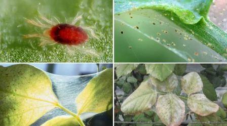 Вредители комнатных растений: фото и название
