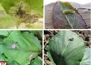 Характер повреждения свекловичной мухи