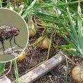 Как избавиться от луковой мухи на грядках