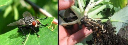 Морковная муха, борьба с морковной мухой