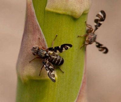Спаржевая муха: фото