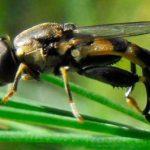 Спаржевая муха