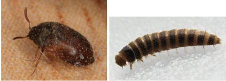 Личинка жука кожееда