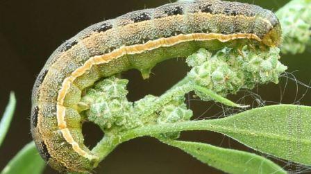 Совка гусеница