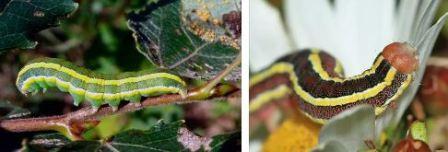 Подгрызающая совка гусеница