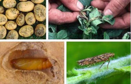 Картофельная моль: меры