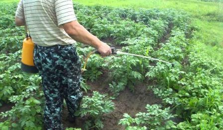 Картофельная моль: меры борьбы