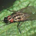 Как избавиться от ростковой мухи в огороде