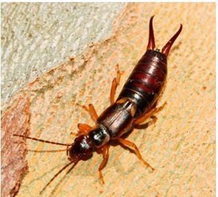 Уховертка насекомое