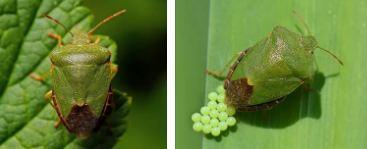 Щитник зеленый клоп