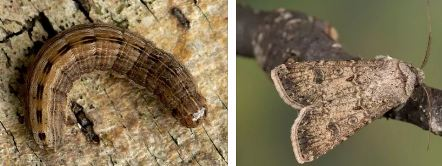 Бабочка совка: фото