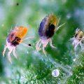 Как избавиться от паутинного клеща в огороде