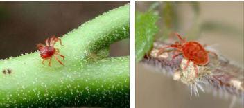Паутинный клещ на растениях: как бороться