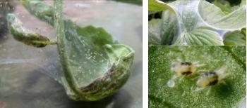 Паутинный клещ на растениях: как избавиться