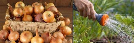 Ржавый томатный клещ
