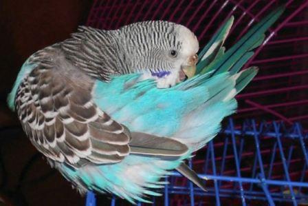Бывают ли блохи у попугаев волнистых