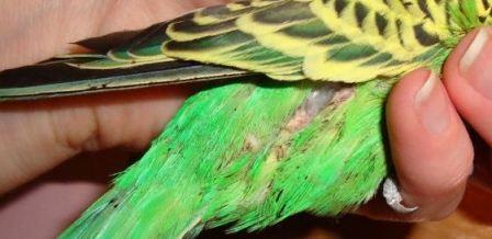 Бывают ли блохи у попугая