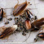 Какие народные методы помогут уничтожить тараканов