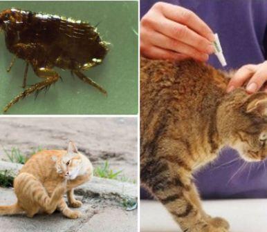 Кошачьи блохи, их опасность и меры борьбы
