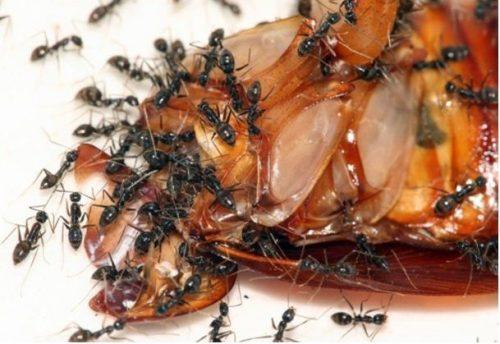 Домашние тараканы, кто такие и как с ними бороться
