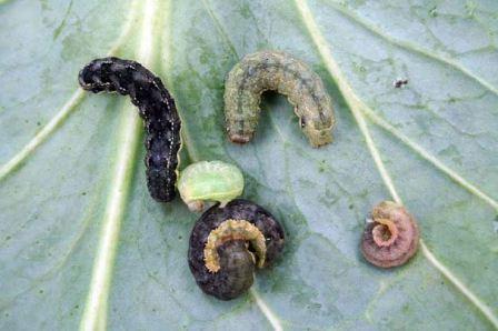 Какой вред от гусеницы совки, методы борьбы