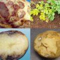 Картофельная нематода, описание и меры борьбы с вредителем